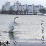 лебедь на Волотовском озере в Гомеле