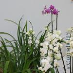 выставка орхидей в Гомеле