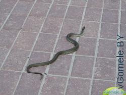 змея на прогулке