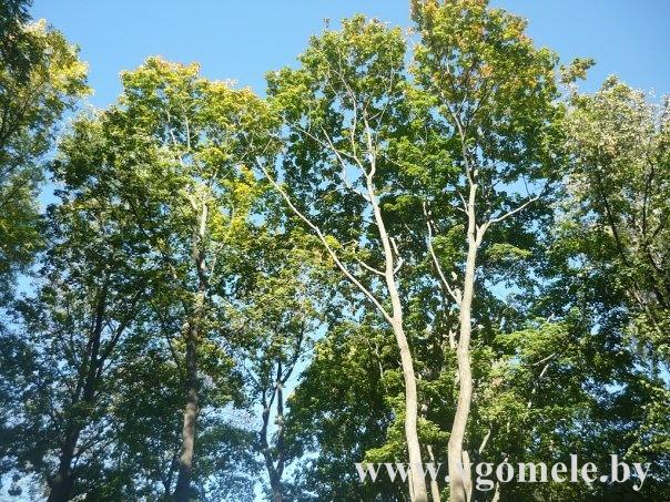 Деревья Гомеля